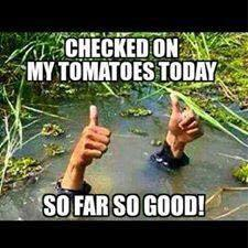 Tomatoes.jpg.2783ee1f97efb517155654a21fb2ce69.jpg